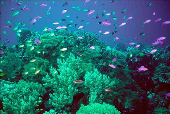 A coral reef harbors as much life as a rainforest.  (Photo courtesy California Academy of Sciences)